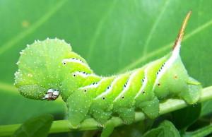 manduca_larva